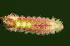 Larven fattar på, lycaenidaen Arkivfoto