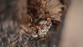 Larven gnag skället av ett träd stock video