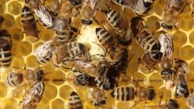 Larven von Bienen und von Königinnen von Bienen entwickeln sich in den Kokons stock footage