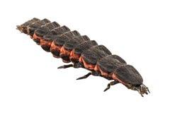 Larvenspezies nyctophila reichii des Leuchtkäfers weibliches Stockfotos