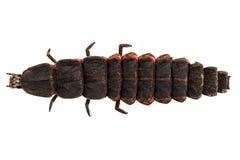 Larvenspezies nyctophila reichii des Leuchtkäfers weibliches Stockfotografie