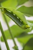 Larver som äter det gröna bladet, är läckra arkivbild