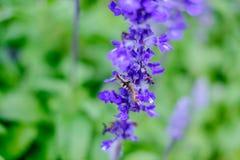 Larver som äter sidor och blommor av lavendel för tillväxt Royaltyfria Foton