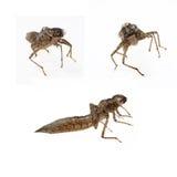 larves de libellule Image stock