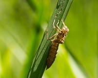 Larves de libellule sur l'herbe photographie stock libre de droits