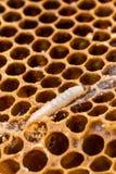 Larves de mite de cire sur le peigne de couvée Photo libre de droits