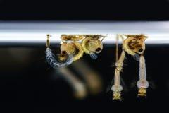 Larves de moustique, comme vecteurs de la maladie de diease Image stock