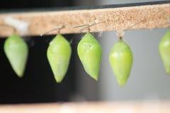 Larves de papillon Images libres de droits