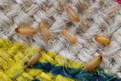 Larves de scarabée de Khapra sur le sac de toile de jute Photographie stock