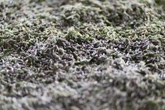 Larves de ver à soie dans un lit de élevage Photographie stock libre de droits