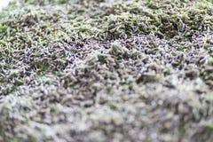 Larves de ver à soie dans un lit de élevage Image libre de droits