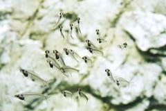 Larves transparentes de poissons avec l'arête de poisson photographie stock