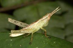 Larvgräshoppa Royaltyfri Fotografi