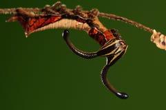 Larwa Dichorragia nesimachus /butterfly zdjęcie royalty free
