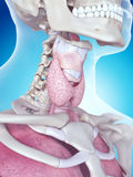 The larynx anatomy Royalty Free Stock Image