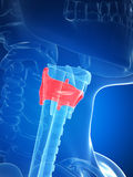 Larynx anatomy - thyroid cartilage Royalty Free Stock Photography