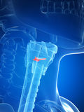 Larynx anatomy - vocal chords Stock Photos