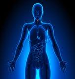 Larynx - Female Organs - Human Anatomy Royalty Free Stock Photography