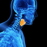 The larynx Stock Photo