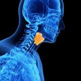 The larynx. Medical illustration of the larynx Stock Photo