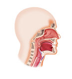 Larynx system Royalty Free Stock Images