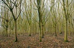 Lasów drzewa Zdjęcia Royalty Free
