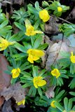 Lasów kwiaty, Żółty Drewniany anemon zdjęcie royalty free