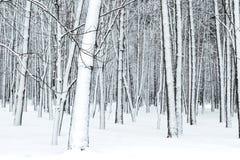 Lasów nadzy drzewni bagażniki zakrywający z śniegiem Obraz Royalty Free