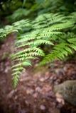 lasów paprociowi liść Obrazy Royalty Free