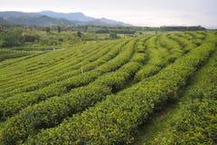 Las áreas del té verde para el cultivo del té verde son filas cerca de las montañas fotos de archivo