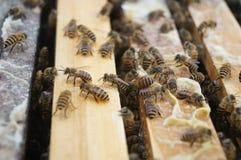 Las abejas Fotografía de archivo libre de regalías