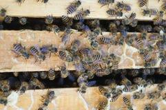 Las abejas Fotos de archivo libres de regalías