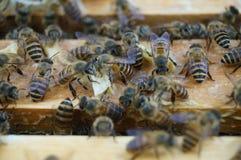 Las abejas Imágenes de archivo libres de regalías