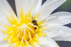 Las abejas alimentan en el polen en una flor blanca Fotos de archivo libres de regalías