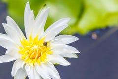 Las abejas alimentan en el polen en una flor blanca Foto de archivo libre de regalías