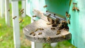 Las abejas circundan alrededor de la colmena y ponen el polen recientemente floral del n?ctar y de la flor dentro de la colmena V almacen de video