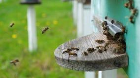 Las abejas circundan alrededor de la colmena y ponen el polen recientemente floral del n?ctar y de la flor dentro de la colmena V metrajes