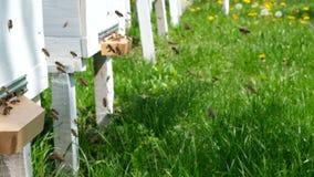 Las abejas circundan alrededor de la colmena y ponen el polen recientemente floral del n?ctar y de la flor dentro de la colmena V almacen de metraje de vídeo