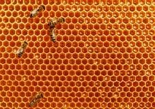 Las abejas convierten el néctar en la miel y lo cubren en panales Imagen de archivo