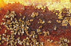 Las abejas convierten el néctar en la miel y lo cubren en panales Fotografía de archivo