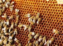 Las abejas convierten el néctar en la miel y lo cubren en panales Fotos de archivo
