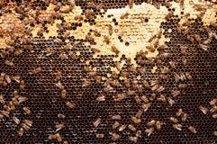 Las abejas convierten el néctar en la miel y lo cubren en panales oscuros Foto de archivo libre de regalías