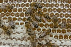 Las abejas convierten el néctar en la miel y lo cubren en panales Fotos de archivo libres de regalías
