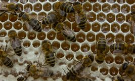 Las abejas convierten el néctar en la miel y lo cubren en panales Imagen de archivo libre de regalías