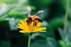 Las abejas de Gaysorn son néctar de las flores Abeja en las flores con el fondo del verde del prado Foto de archivo libre de regalías