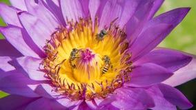 Las abejas de la floración del loto de la belleza se cierran encima del polen Foto de archivo libre de regalías