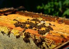 Las abejas de la miel en los peines de la cera, al aire libre Fotos de archivo