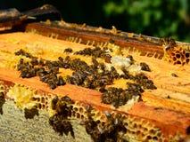 Las abejas de la miel en los peines de la cera, al aire libre Foto de archivo libre de regalías