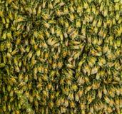 Las abejas de la miel en un enjambre hacen una colmena Foto de archivo libre de regalías