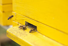 Las abejas de la miel están consiguiendo dentro y fuera de la colmena Fotografía de archivo libre de regalías
